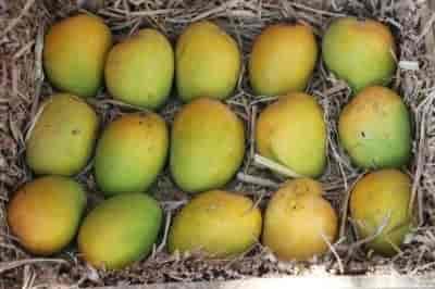 Kasturi Mango Distributor, Bandra East - Fruit Home Delivery